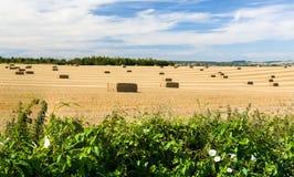 Blaue Himmel über Maisfeldern in England Lizenzfreies Stockfoto
