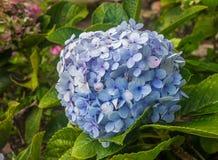 Blaue Hortensie Stockbilder