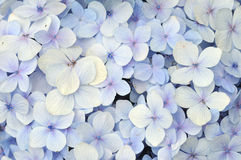 Blaue Hortensieblumen Stockfotografie