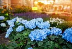 Blaue Hortensien auf der Straße, im Shop für Geschenknachtstadt beleuchtet Stockfotos