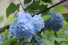 Blaue Hortensienahaufnahme auf einem Weg im Garten Stockfoto
