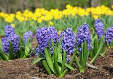 Blaue Hyazinthe Lizenzfreies Stockfoto