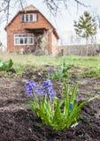 Blaue Hyazinthen und Muscari in einem Garten im Vorfrühling Lizenzfreies Stockbild
