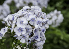 Blaue Hydrangeablume Stockfotografie