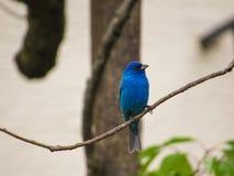 Blaue Indigo-Flagge, die auf einem Baumast sitzt stockbild