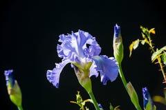 Blaue Iris auf schwarzem Hintergrund Lizenzfreies Stockbild