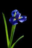 Blaue Iris auf schwarzem Hintergrund Stockfoto