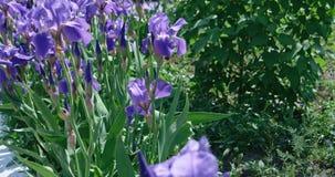 Blaue Iris auf Wind stock video
