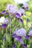 Blaue Iris in den Wassertropfen. Lizenzfreies Stockfoto