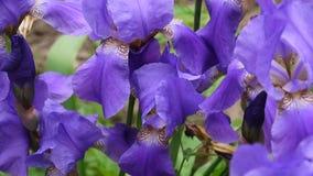 Blaue Iris, die den Wind weitergeht Videoaufnahmen HD Statickamera stock video footage