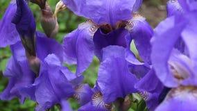 Blaue Iris, die den Wind weitergeht Videoaufnahmen HD Statickamera stock video
