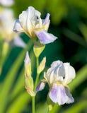 Blaue Iris, die im Garten blüht Lizenzfreie Stockfotos