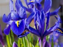 Blaue Iris und purpurroter Krokus im Blumenbeet im Frühjahr Lizenzfreies Stockfoto