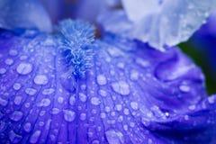 Blaue Irisblume, die im Garten blüht Lizenzfreies Stockfoto