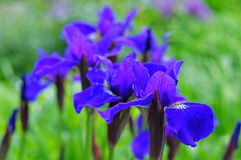 Blaue Irisblumen im Garten Stockbild