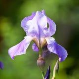 Blaue Irisblumen-Nahaufnahmeansicht lizenzfreie stockfotografie