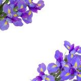 Blaue irise Blumen schließen oben Stockbild
