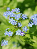 Blaue Jack Frost-Blumen Stockbild