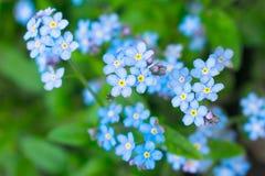 Blaue kleine Blumen - hohes und gr?nes Gras des Vergissmeinnichtabschlusses lizenzfreie stockfotos