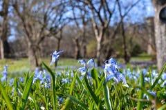 Blaue kleine Frühlingsblumen in einer Wiese Stockbild