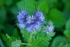 Blaue kleine Knospen von wilden Blumen auf einem grünen Stiel lizenzfreie stockbilder