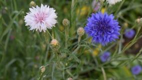 Blaue Kornblume auf dem Gebiet stock video