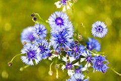 Blaue Kornblume in einem Garten, obere Ansicht, Sommerzeit Stockbild