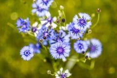 Blaue Kornblume im Garten, Sommerzeit Lizenzfreie Stockbilder