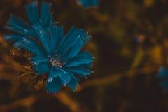 Blaue Kornblumekarte stockfoto