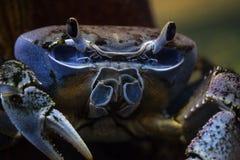 Blaue Krabbe im Meer Lizenzfreie Stockfotos