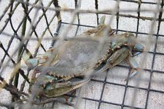 Blaue Krabbe Marylands in der Falle Lizenzfreies Stockbild