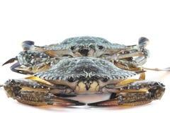 Blaue Krabben im Ozean Stockfotografie