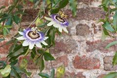 Blaue Kronenpassionsblume, die eine alte Steinwand bedeckt Stockbilder