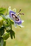 Blaue Leidenschaftsblume Stockbilder
