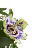 Blaue Leidenschaftsblume Stockfoto