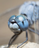 Blaue Libelle Lizenzfreies Stockbild