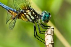 Schließen Sie oben von der Libelle Stockfoto