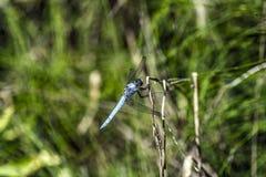 Blaue Libelle Lizenzfreie Stockfotografie