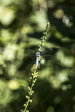 Blaue Libelle Stockfoto