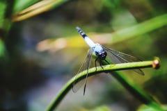 Blaue Libelle Stockbilder