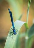 Blaue Libelle auf Blatt Stockfotografie