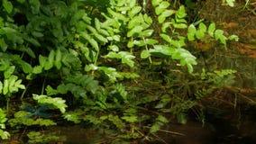 Blaue Libelle auf der kleinen Wasserpflanze stock footage