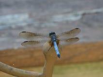 Blaue Libelle auf einem Metallstuhl Stockfoto