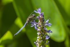 Blaue Libelle auf Spitze der Lilie Stockfotos