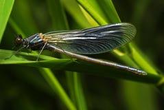 Blaue Libelle, die auf dem Blatt stillsteht Stockbild