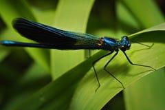 Blaue Libelle, die auf dem grünen Blatt sitzt Stockfoto