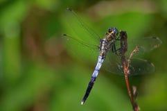 Blaue Libelle, die auf einem Zweig stillsteht Stockbilder
