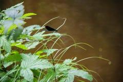 blaue Libelle, die durch The Creek in babiccine udoli in der Tschechischen Republik lebt Stockbilder