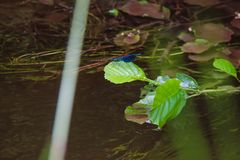 blaue Libelle, die durch The Creek in babiccine udoli in der Tschechischen Republik lebt Lizenzfreies Stockfoto