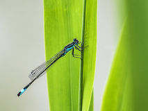Blaue Libelle sitzt auf einem Gras Lizenzfreie Stockbilder